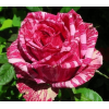 /Hybrid Tea Roses/Pink Intuition/Pink Intuition 1