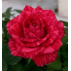 /Hybrid Tea Roses/Red Intuition/Red Intuition 1