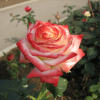 /Hybrid Tea Roses/The Empress/The Empress 2