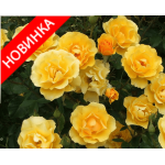 /Ground cover roses/Limesgold/Limesgold 1