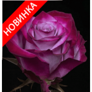 /Hybrid Tea Roses/Deep Purple/Deep Purple 1