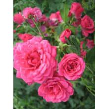 /Ground cover roses/Rody/Rody 1