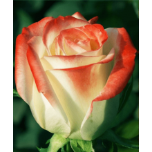 /Hybrid Tea Roses/The Empress/The Empress 1