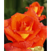 /Climbing Roses/Arielle Dombasle/Arielle Dombasle 1 2