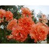 /Climbing Roses/Westerland/Westerland 2