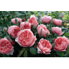 /English roses/The Alnwick Rose/The Alnwick Rose 2