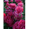 /Hybrid Tea Roses/Blackberry Nip/Blackberry Nip 2