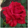 /Hybrid Tea Roses/Red Intuition/Red Intuition 2