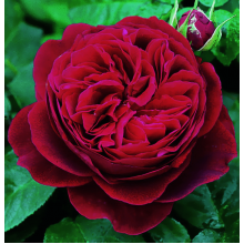 /English roses/Darcey Bussell/Darcey  Bussell 1