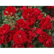 /Ground cover roses/Rouge Baden Baden/Rouge Baden Baden 1