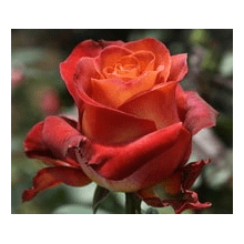 /Hybrid Tea Roses/Coffee break/Coffee break 1