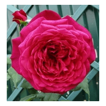 /Hybrid Tea Roses/Goethe Rose/Goethe Rose 1