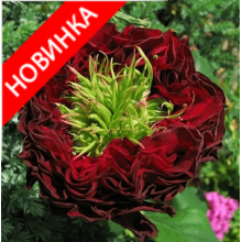 /Hybrid Tea Roses/Red eye/Red eye 1